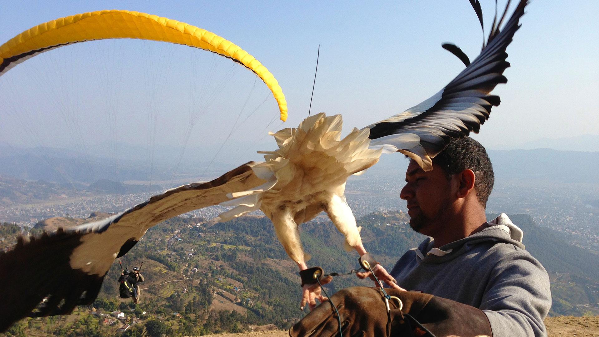 Vulture landing on its handler