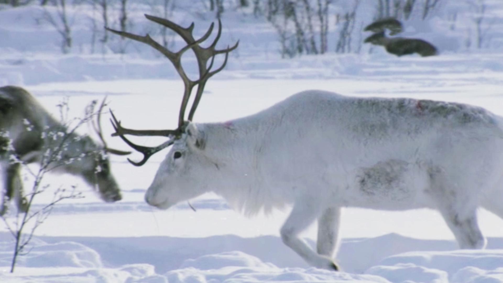 Arctic Reindeer Plains Earth A New Wild