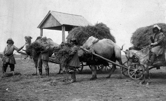 camels pulling hay wagons