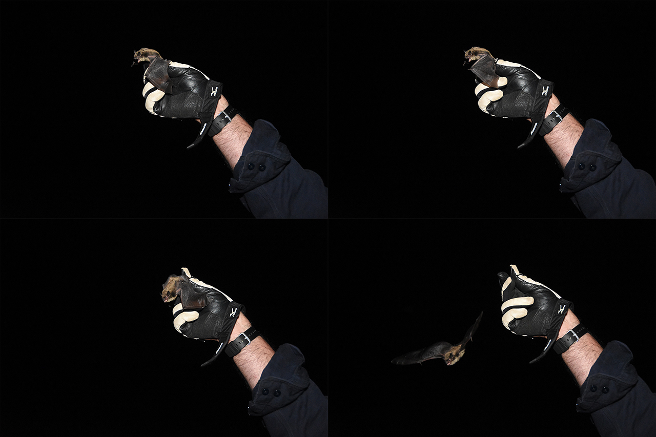 A bat being released.