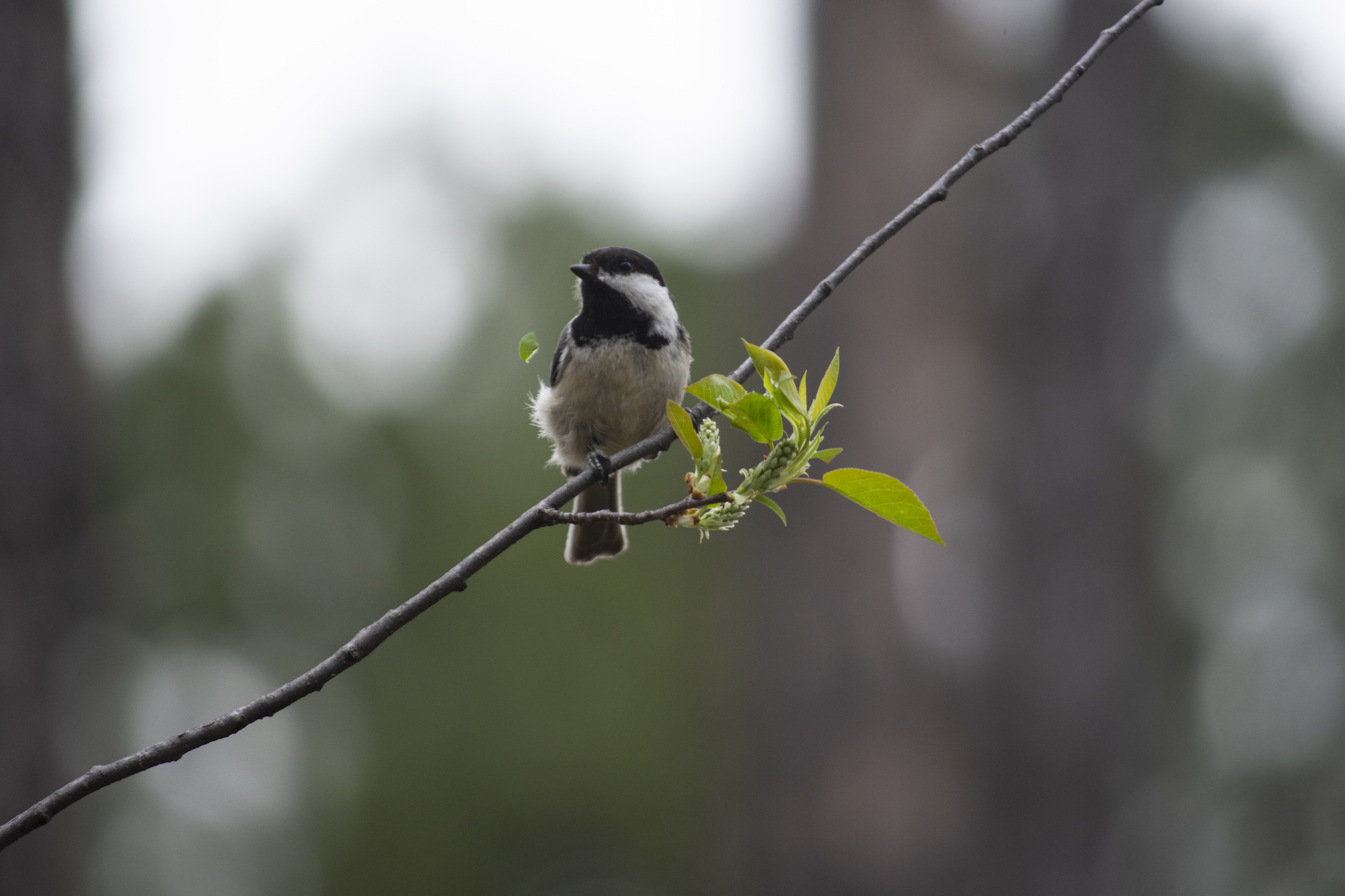 A black-capped chickadee munches on a hophornbeam along the trail into Botany Canyon.