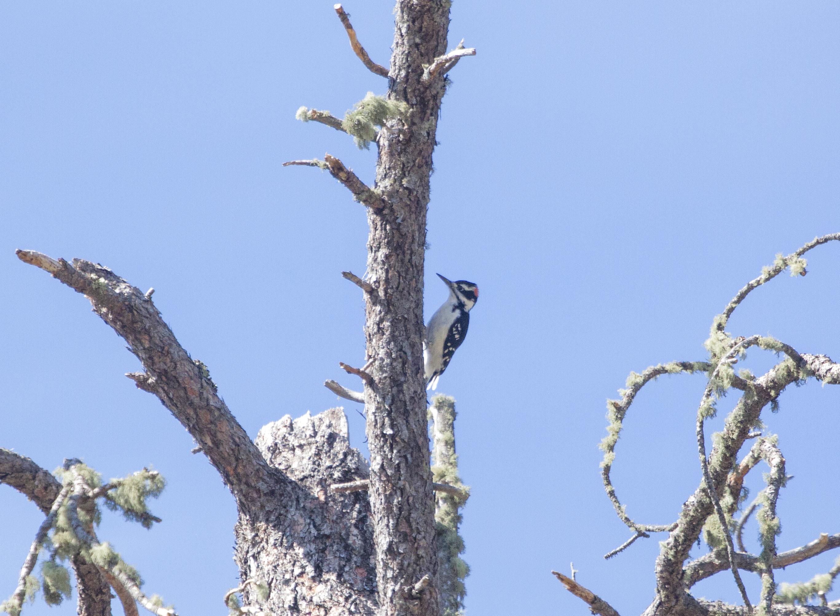 woodpecker4.jpg