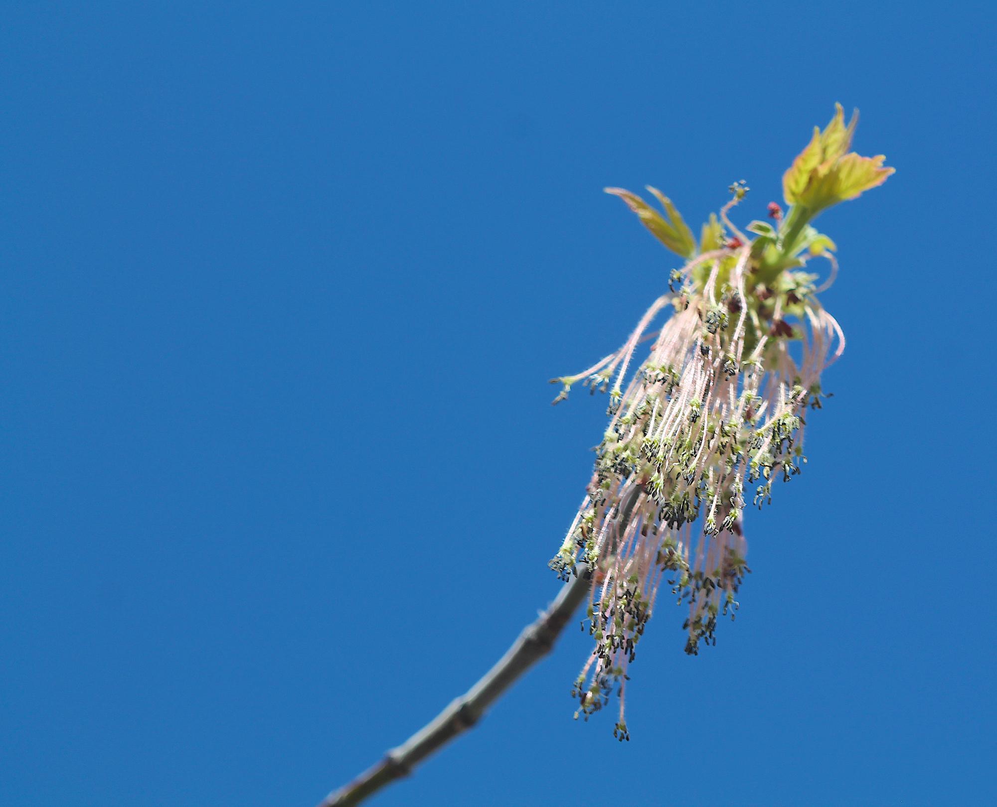 Box elder flowers.
