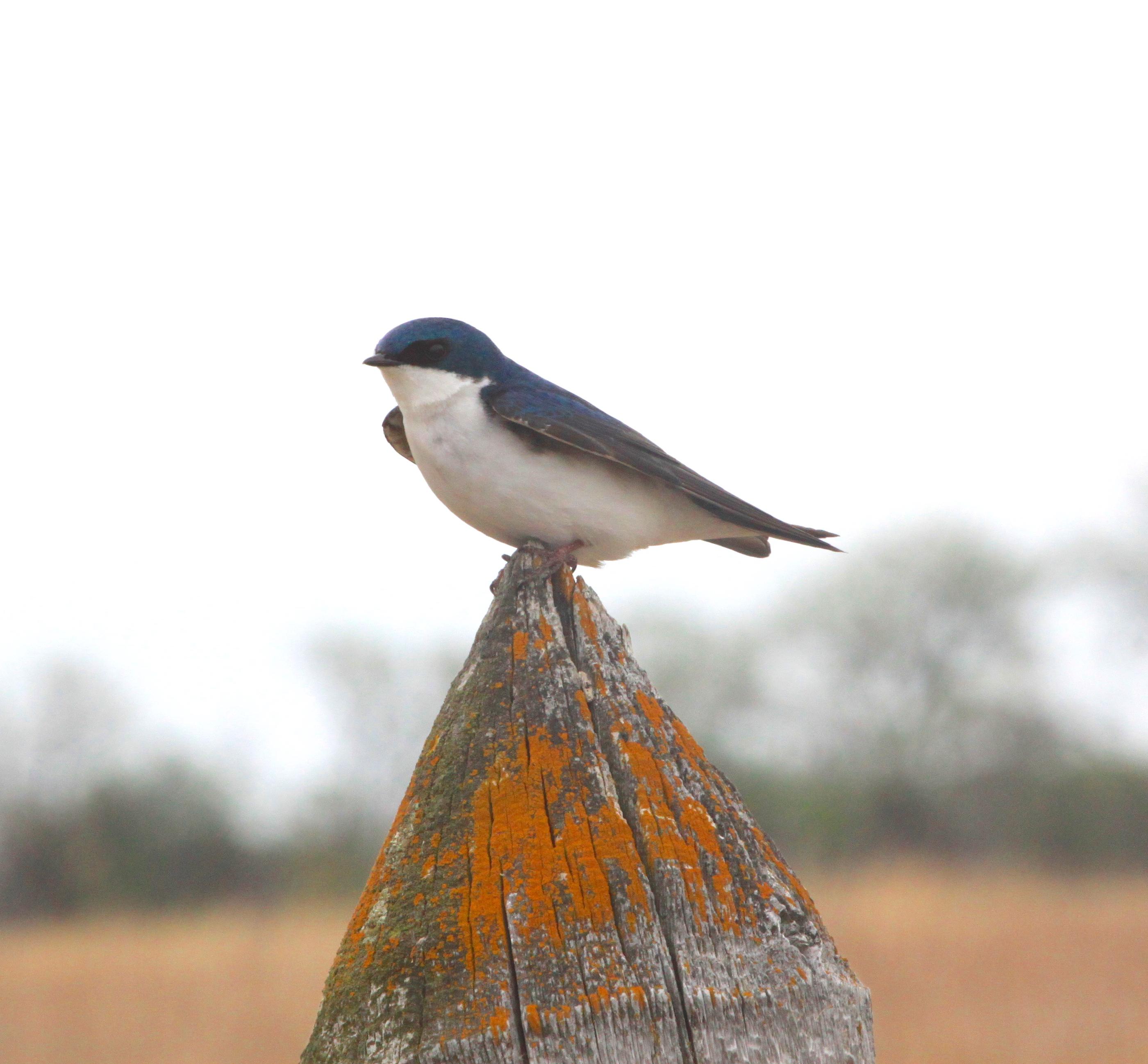 easternkingbird.JPG