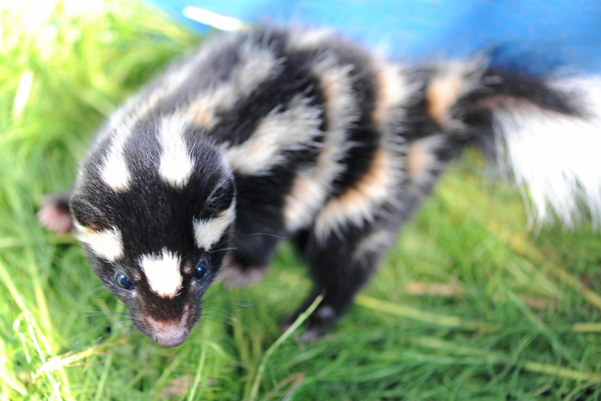 A juvenile spotted skunk.