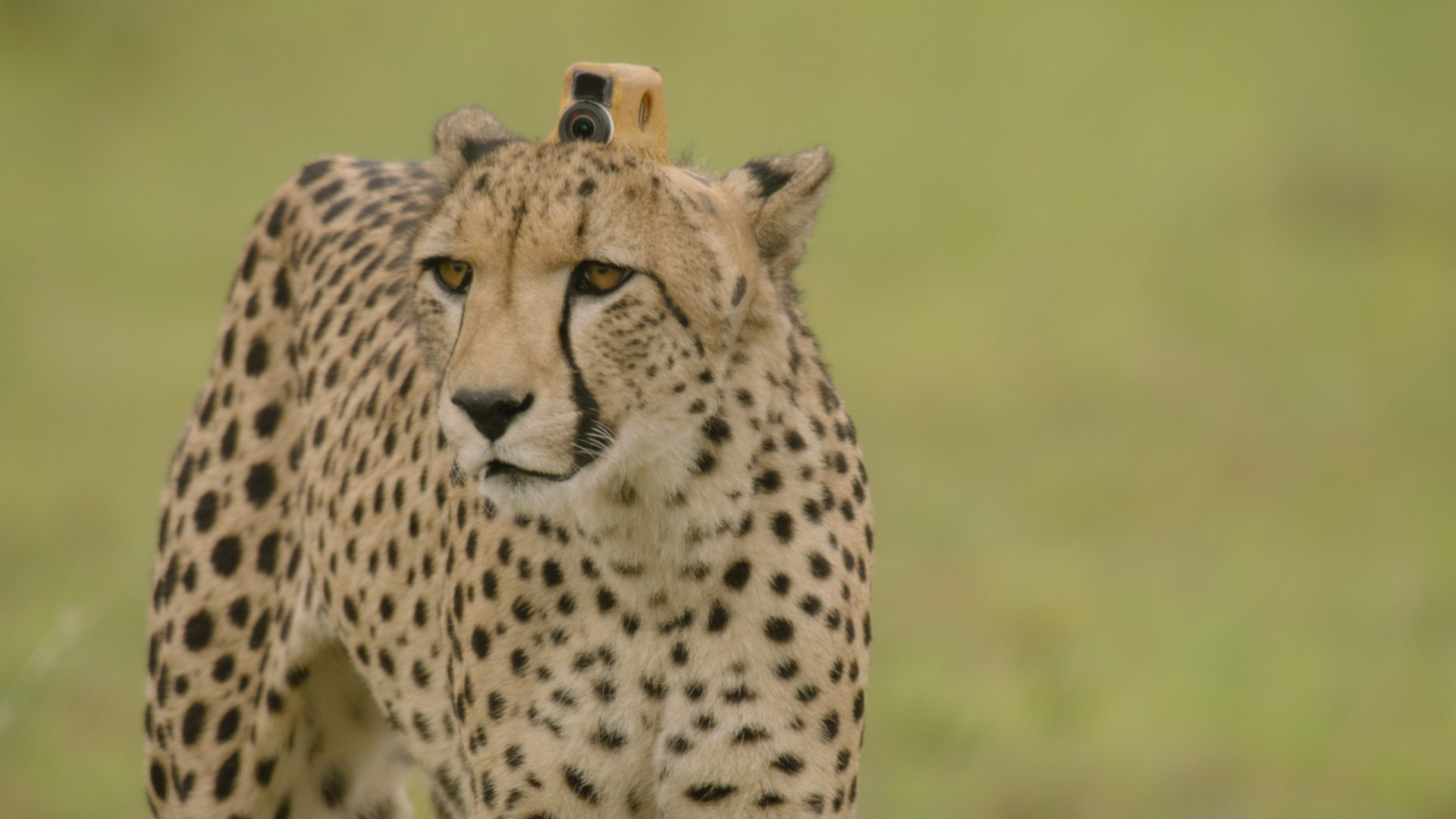 Get a bird's-eye view of life among wild beasts in 'Animals with Cameras'