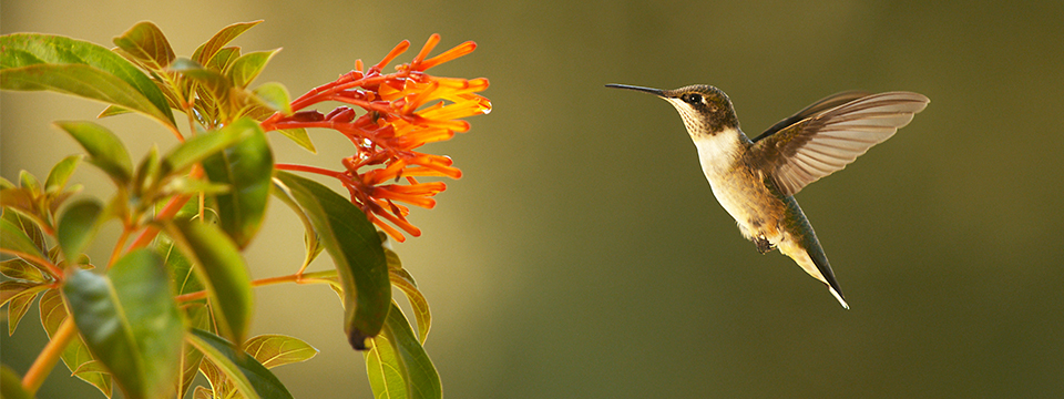 NATURE: Super Hummingbirds