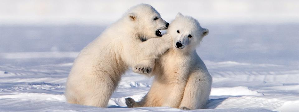 NATURE : Snow Bears
