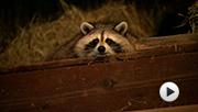 Raccoon Nation