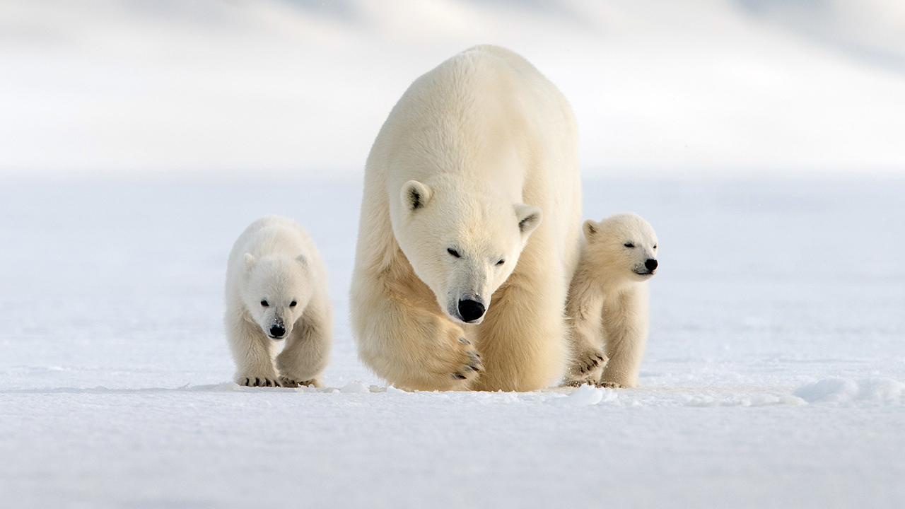 Nature: Snow Bears