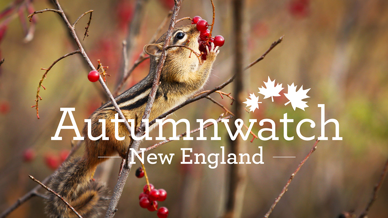 Autumnwatch – New England