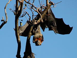 bat and flying fox hanging from a tree