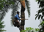 Moteleb, a date palm sap collector in Bangladesh, climbs a tree to attach a pot and collect the sap. The sap will be sold as a sweet drink at local markets.