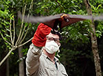 In Bangladesh, Dr. Jonathan Epstein releases a bat after collecting samples for testing.
