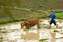 man plowing a field with an ox