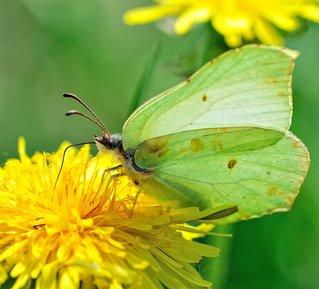 Butterfly_on_a_dandelion.jpg