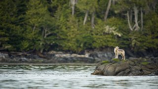 Wolf stands by the river in the Great Bear Rainforest.