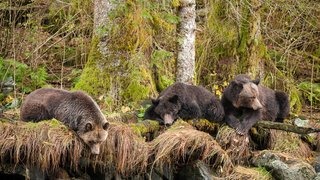 Grizzly Bears relaxing by the river