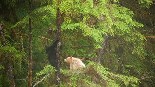 Black bear and spirit bear cubs