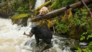 Black bear with cubs fishing in the Great Bear Rainforest