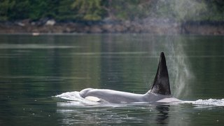 An orca's spray