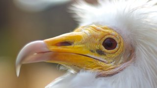 An Egyptian Vulture close up