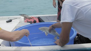 A baby lemon shark is processed by students.