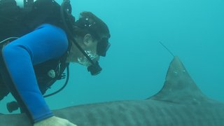 A scientist swims with a tiger shark.