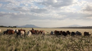 Maasai cows graze in the plains of Tanzania.
