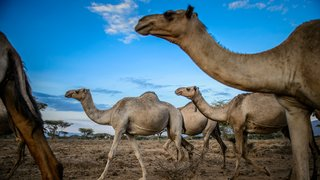 Domestic camels wait for water in the dry river bed.