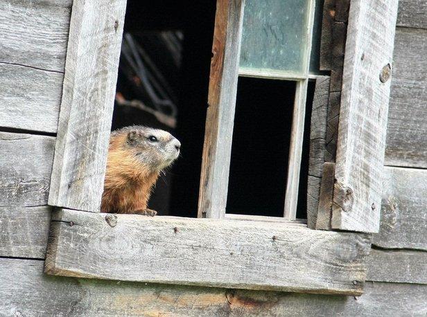 Woodchuck at Window.jpg