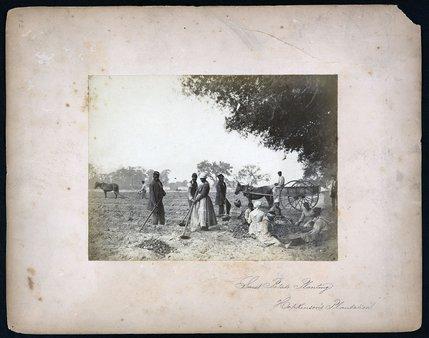 Slaves working in the sweet potato fields.