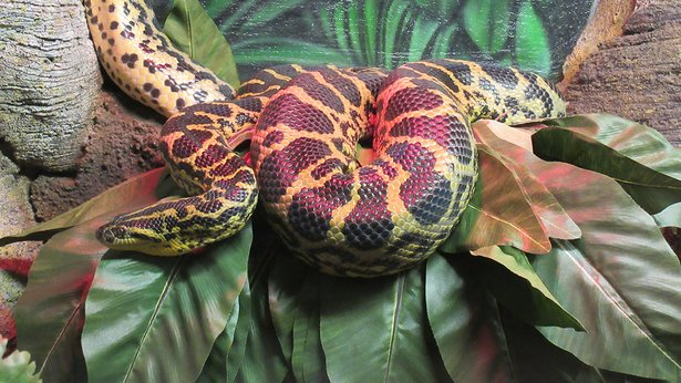 This yellow anaconda will welcome visitors to World Snake Day celebrations Saturday at Amarillo Zoo.