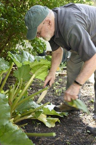Larry Bradley harvests rhubarb.