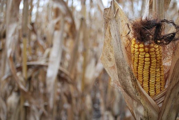 Peaceful Harvest.jpg