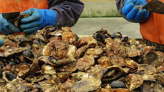 American Mussel Harvesters / Salt Water Farms LLC