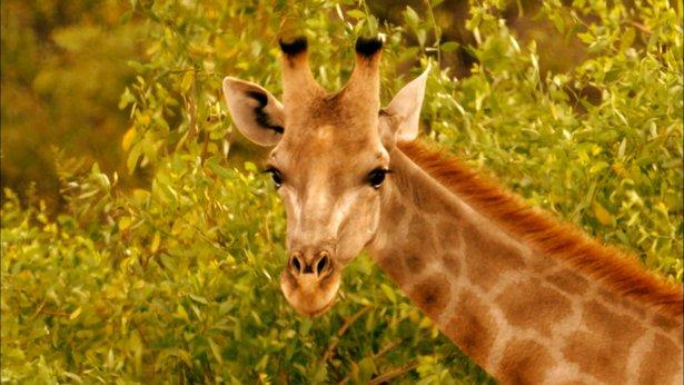 Nature - Giraffes: Africa's Gentle Giants